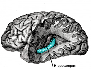 The hippocampus is a major component of the brains of humans and other vertebrates.