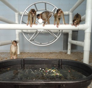 A pool provides nonhuman primates with improved psychological well-being.