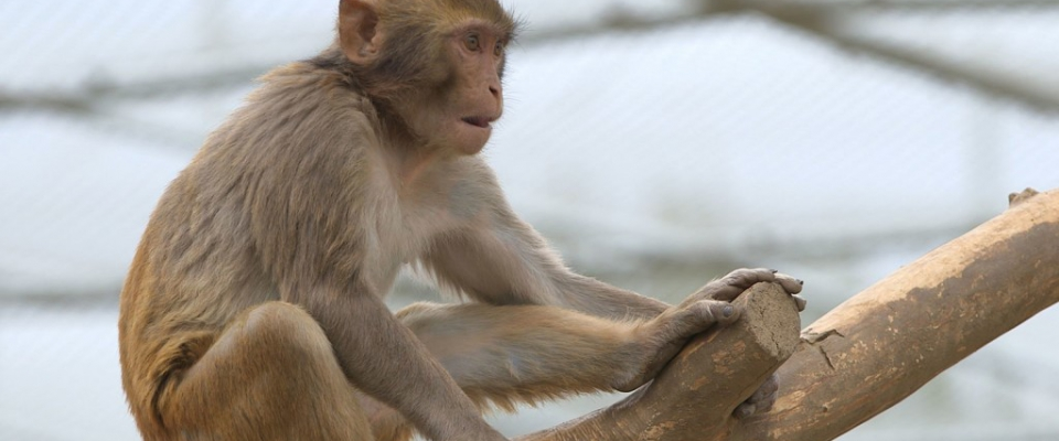 Critical Roll of Nonhuman Primates in Scientific and Medical Research