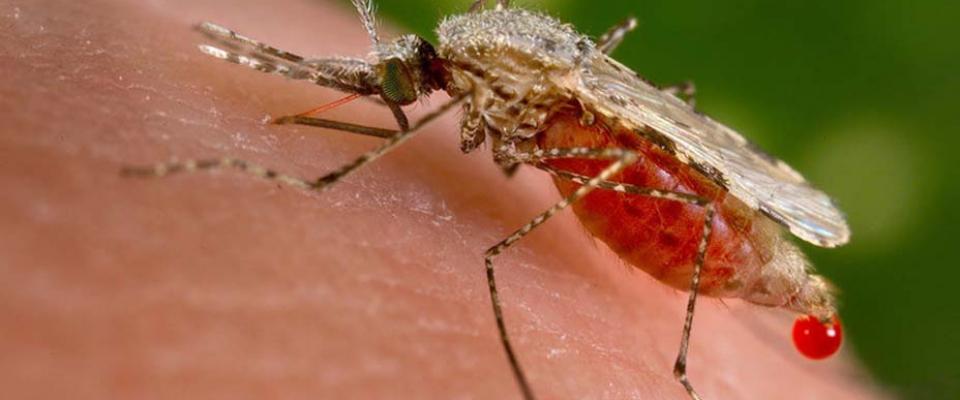 zika_mosquito_adams