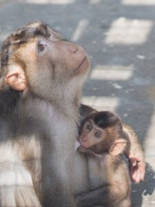 Photograph of a Macaca nemestrina infant nursing on its mother