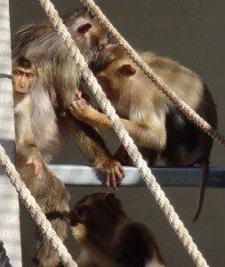 Photograph of Macaca nemestrina engaged in social grooming behavior